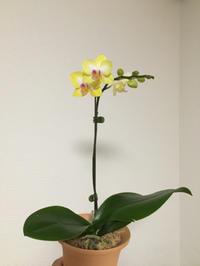 黄色っぽいコチョウラン - My funny carnivorous plants