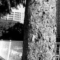エゾ松の樹皮とボランティアのゴム手と44二眼レフ - 照片画廊