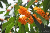 色々なところから香りを感じる金木犀の花(*^-^*) - 自然のキャンバス