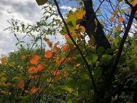 マルバノキの紅葉と・・・ - 風路のこぶちさわ日記