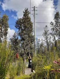 オヒア・レフアの木が電線に - Nature Care