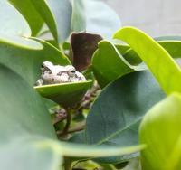 庭の雨蛙… - 侘助つれづれ
