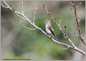 コサメビタキ どんぐり目の可愛い子 - 野鳥の素顔 <野鳥と日々の出来事>