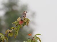 初秋の公園にモズ - コーヒー党の野鳥と自然パート3