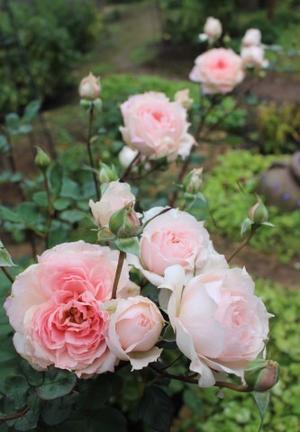 秋の方が美しく咲くバラ(*^^*) - ペコリの庭 *