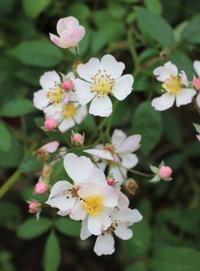ドーピングした八重咲アナベル♪ - ペコリの庭 *