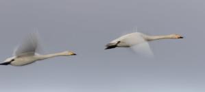 O沼で今季初のハクチョウの流し撮り - 札幌発野鳥観察