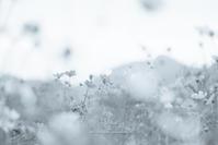 モノクロのコスモス。 - Yuruyuru Photograph