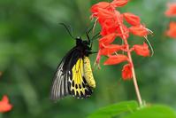 紅い花にヘレナキシタアゲハ - TOM'S Photo