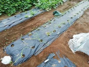 第一農園進行状況と収穫間近の野菜達 - ひまわり日誌