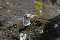 シルビアシジミ、クロツバメシジミ - Lycaenidaeの蝶鳥撮影日記