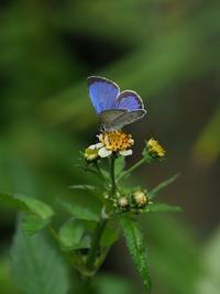 ヤクルリの卵から成虫まで - 蝶超天国