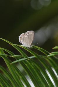 雨の中でクマソの経過観察 - 蝶超天国