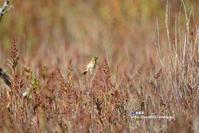 草紅葉のなかのホオアカ - azure 自然散策 ~自然・季節・野鳥~