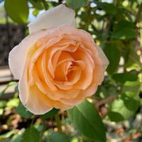 庭の薔薇[2019/10/22] - 春&ナナと庭の薔薇