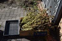 自然栽培黒千石大豆取り外し畑仕舞い作業マルチ干し - 自然栽培 釧路日記