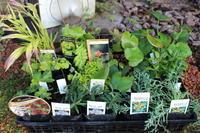 届いた苗を植えまくり=3 - ペコリの庭 *