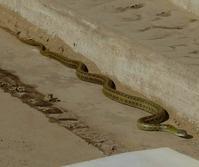 シマヘビと遭遇 - 花
