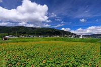 え!?今頃ひまわり大原野2019 - 花景色-K.W.C. PhotoBlog