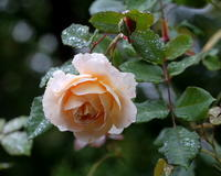 しっとりと秋バラを - 星の小父さまフォトつづり