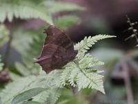 狭山湖2(チョウ) - ベニヒワ♪の自然観察2