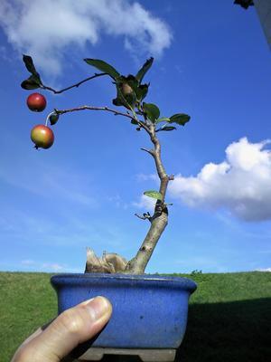 姫林檎の実成り - 盆栽便り