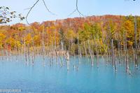 秋の「青い池」~10月の美瑛 - My favorite ~Diary 3~