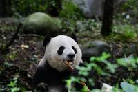 2019年9月成都大熊猫繁殖研究基地その7陽たん - ハープの徒然草