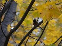 秋色のヤマガラさんたち。 - ヒロムシ君のお散歩日記