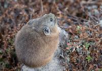 大雪山のナキウサギ - 野生動物写真家 佐藤 圭/北海道の自然と野生動物