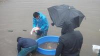 小西米プロジェクトThe Odyssey-36鯉の里は米の郷 - 鯉の里は、米の郷