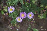 菊の名の付く花が咲きだしてきました(^^♪ - 自然のキャンバス