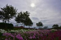 コスモスの咲く丘の散策馬見丘陵公園 - 峰さんの山あるき