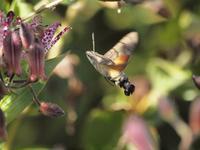 『杜鵑草(ホトトギス)と星蜂雀(ホシホウジャク)と花達』 - 自然風の自然風だより