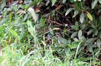 湖のノゴマ - azure 自然散策 ~自然・季節・野鳥~