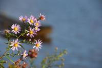 朝野菊鮮やかな花咲かせてた篤人 - 渡部あつし