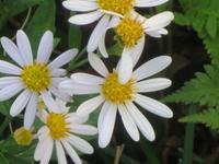原っぱに野菊が群れて咲いていた篤人 - 渡部あつし
