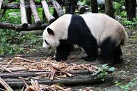 2019年9月成都大熊猫繁殖研究基地その8 陽たん2 - ハープの徒然草