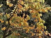 神無月の宴(autumn concert, autumn party) - ももさへづり*やまと編*cent chants d'une chouette (Yamato*Japon)