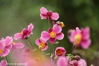 3種類の秋明菊(シュウメイギク)に出会えました(^^♪ - 自然のキャンバス