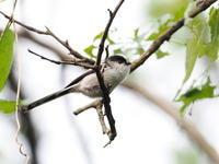 北本公園でエナガと遭遇 - コーヒー党の野鳥と自然パート3