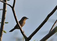 夕日を浴びてのアリスイ - 今日も鳥撮り