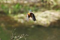 N川のカワセミ、先週のホバリング3種 - 小川の野鳥達