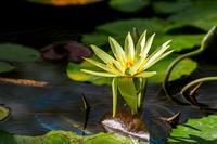 熱帯睡蓮 - あだっちゃんの花鳥風月