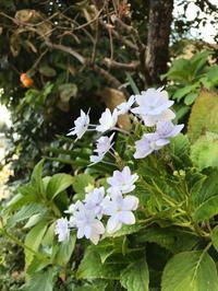 柿と紫陽花 - 手のじ行くバイ
