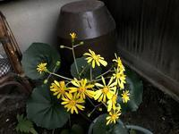 秋庭の趣、まだまだ続きます「秋明菊・ホトトギス・金木犀・・・そして」編 - ドライフラワーギャラリー⁂ふくことカフェ