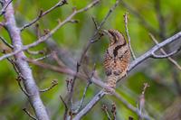 ちょっとキモカワ(アリスイ) - 野鳥などの撮影記録