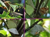 シラカシで各種吸汁 - 秩父の蝶