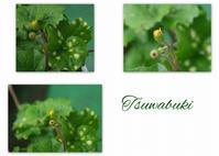 ツワブキの花芽 - 花ありて 日々