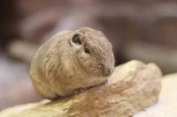 埼玉県こども動物自然公園「ecoハウチュー」OPEN!!②~日本初公開!グンディ!! - 続々・動物園ありマス。